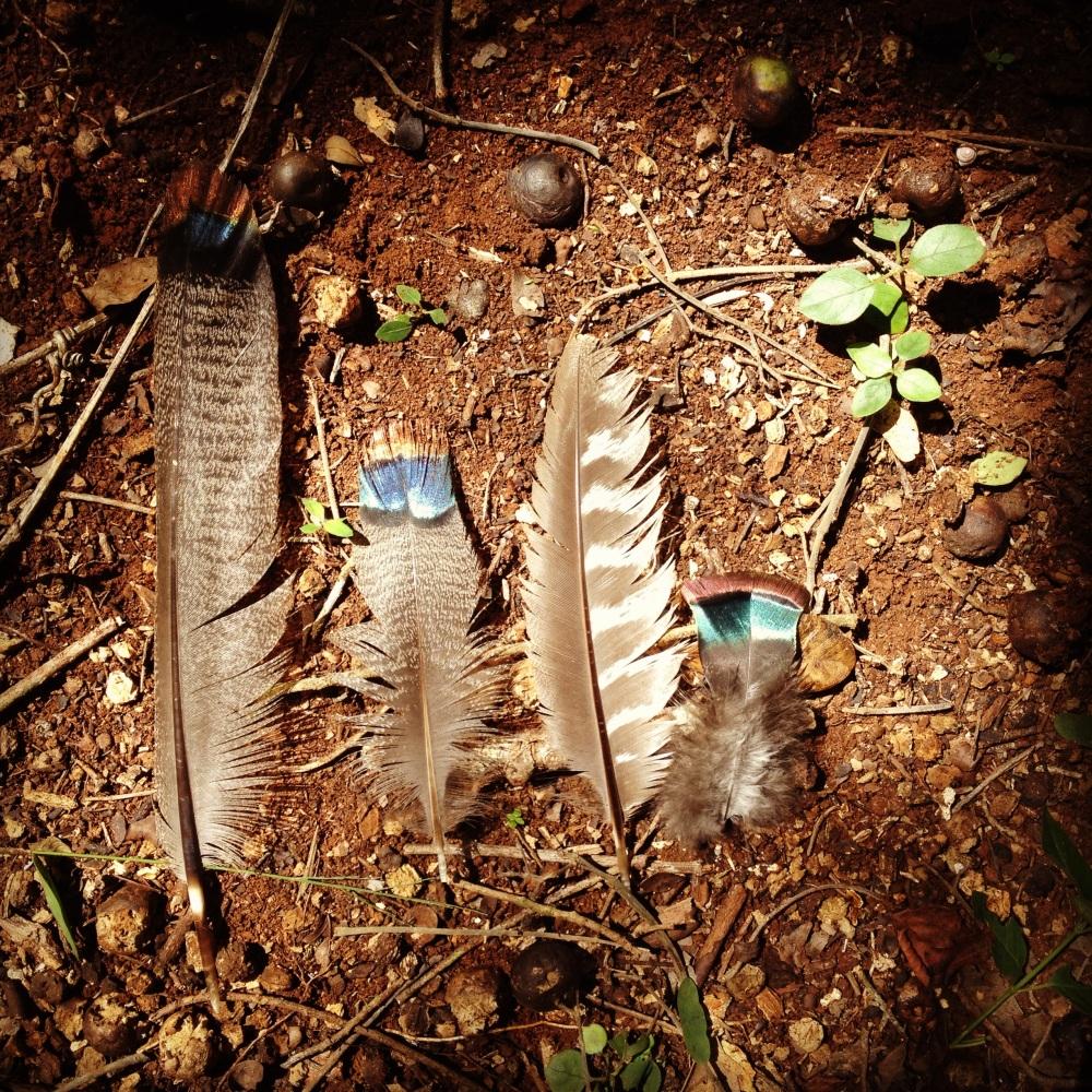 Plumas de pavo de monte (Melleagris ocellata) en un rincón de la selva quintanarroense.